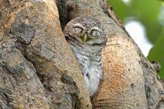 睡觉在树凹陷的被察觉的猫头鹰之子雅典娜布罗莫鸟 免版税库存照片