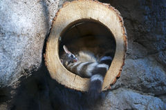 睡觉在树干的尾部有环纹的猫 库存照片