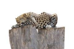睡觉在树干的豹子 免版税库存照片
