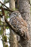 睡觉在树的条纹猫头鹰 库存照片