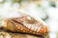 睡觉在树的鬣鳞蜥爬行动物 免版税库存照片