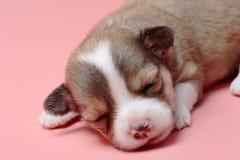 睡觉在桃红色背景的新出生的奇瓦瓦狗小狗 库存图片