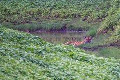 睡觉在森林里的孟加拉老虎 库存照片