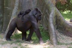 睡觉在母亲的小大猩猩 免版税库存图片