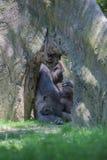 睡觉在母亲的小大猩猩 免版税图库摄影