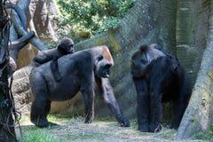 睡觉在母亲的小大猩猩 免版税库存照片