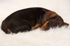 睡觉在毛皮毯子的可爱的达克斯猎犬 库存图片