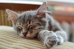 睡觉在沙发的可爱的灰色猫(小猫) 库存照片
