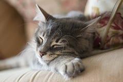 睡觉在沙发的可爱的灰色猫(小猫) 库存图片