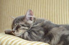 睡觉在沙发的可爱的灰色猫(小猫) 免版税库存图片