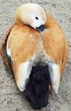 睡觉在沙子的红色鸭子 红色鸭子Ogar 库存照片