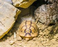 睡觉在沙子的罕见的危险的埃及草龟乌龟在有些岩石下 库存图片