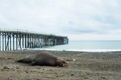 睡觉在海滩的海象 免版税库存照片