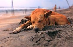 睡觉在海滩的哀伤的流浪狗 免版税库存照片