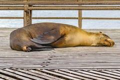 睡觉在海滩的海狼 免版税图库摄影