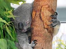 睡觉在玉树的逗人喜爱的考拉 库存照片