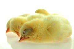睡觉在白色背景的小鸡 免版税库存图片