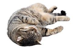 睡觉在白色背景的灰色猫 查出 库存图片