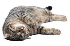 睡觉在白色背景的灰色猫 查出 免版税图库摄影