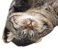 睡觉在白色背景的灰色猫 查出 免版税库存图片