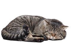 睡觉在白色背景的灰色猫 查出 库存照片
