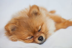 睡觉在白色背景的逗人喜爱的Pomeranian小狗 免版税库存照片