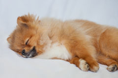 睡觉在的逗人喜爱的Pomeranian小狗白色backgroundlies 库存照片
