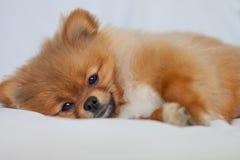 睡觉在的逗人喜爱的Pomeranian小狗白色backgroundlies 免版税图库摄影