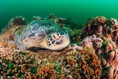 睡觉在礁石的绿海龟 免版税图库摄影