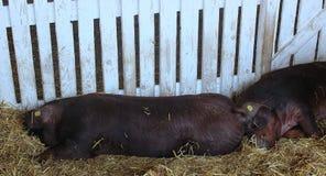 睡觉在秸杆的两黑猪特写镜头  库存照片
