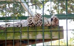睡觉在笼子的雪豹 免版税库存图片