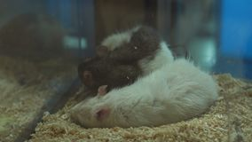 睡觉在笼子,高分辨率的白色和灰色鼠特写镜头  股票视频