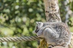 睡觉在绳索和树的树干的之间狐猴的美好的图象 库存照片