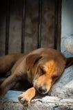 睡觉在缅甸的一个寺庙的橙色狗 免版税库存图片