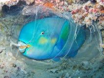 睡觉在茧里面的鹦鹉鱼在水面下在珊瑚礁的夜下潜期间 图库摄影