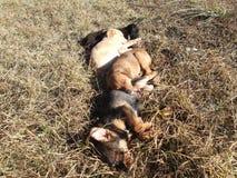 睡觉在草的小狗 免版税库存照片