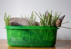 睡觉在草的小猫 图库摄影