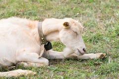 睡觉在草的山羊的画象 免版税图库摄影