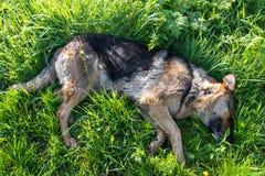 睡觉在草的德国牧羊犬 免版税库存图片