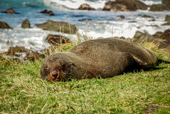睡觉在草的海狮 免版税库存照片