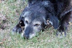 睡觉在草的老资深狗 库存图片