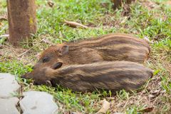 睡觉在草的婴孩野公猪 免版税库存图片