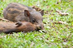 睡觉在草的婴孩野公猪 库存图片