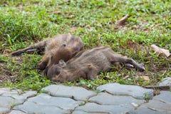 睡觉在草的婴孩野公猪 免版税库存照片