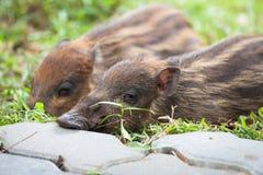 睡觉在草的婴孩野公猪 图库摄影