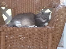 睡觉在藤条椅子的一只猫 免版税库存图片