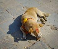 睡觉在街道上的一条圣洁狗 免版税库存照片