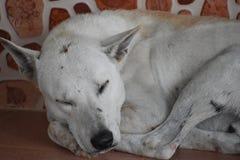 睡觉在街道上的一条白色街道狗的特写镜头在华欣,泰国,亚洲 免版税库存照片