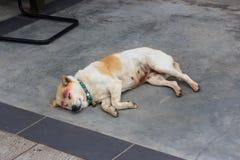睡觉在街道上的孤独的流浪狗 图库摄影