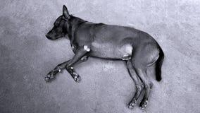 睡觉在街道上的孤独的流浪狗 库存图片